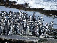 penguins_endangered_dassen island_critiacl