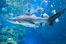 shark_finning_endangered