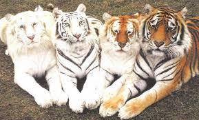 tiger_endangered_india