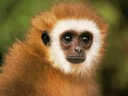 apes_monkeys_soti_endangerd