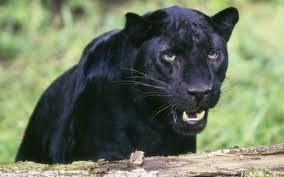 black pather