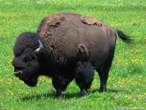 CO_Mammals_Bison