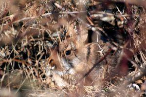 cotton tails_rabbits