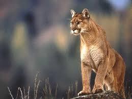 cougar_wild_SOTI