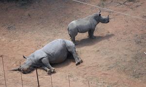 Dead Rhino And Calf
