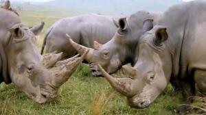 Group_of_Rhinos