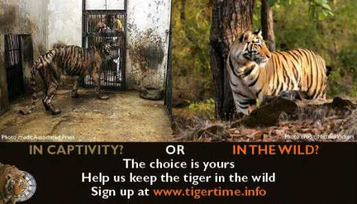 help the tigers