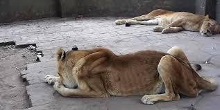 I-AM-A-HUNGRY-LION