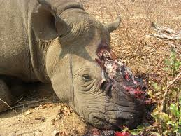 RHINO_HORN_HACKED_OFF_ALIVE_