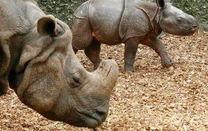 India Rhino