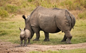 Kariega-rhino-with-baby-March-25_2013_1000
