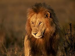 lion_south africa_Karoo_SOTI_