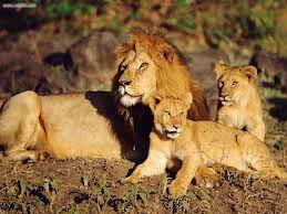 Lions_cubs_endangered_Africa