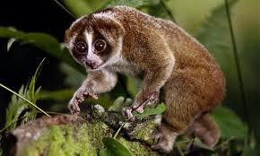 LORIS_endangered_primate