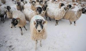 Loss Of Sheep
