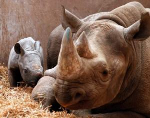 Mommy Rhino And Baby