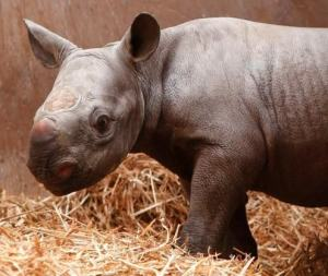 New Rare Black Rhino Born