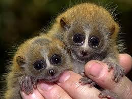 pygmy loris_soti_endangered