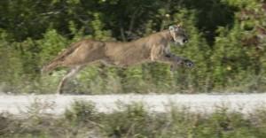 Rare Florida Panther