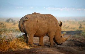 Rhino Marking His Teritory