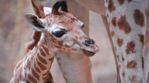 rothschild_baby_giraffe_endangered