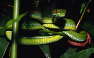 Ruby Red Eye Pit Viper