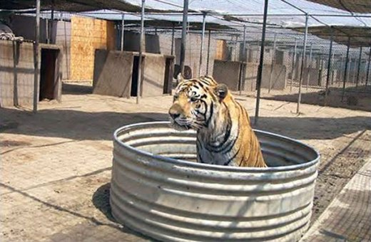 tiger-living-in-poor-conditions