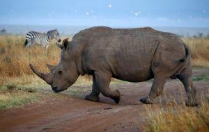 Zebra + Rhino