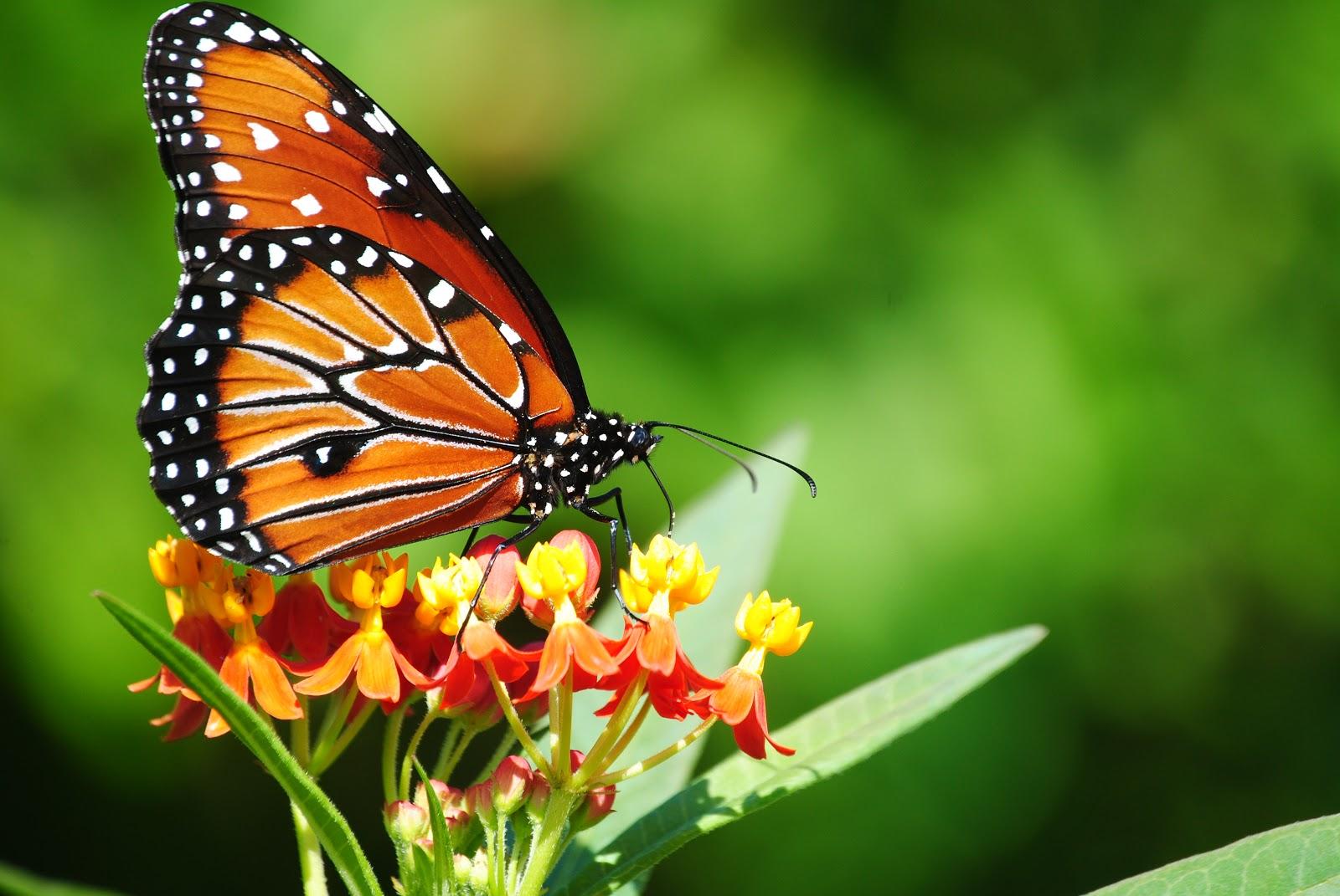 [Image: 1-backyard-butterflies-10-12-0911.jpg]