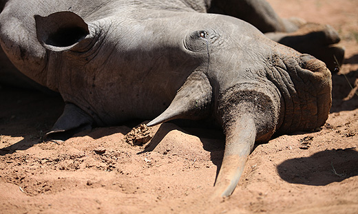 dead_rhino_killed_by_poachers