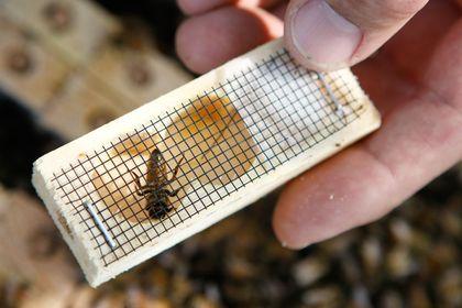 hive queen bee