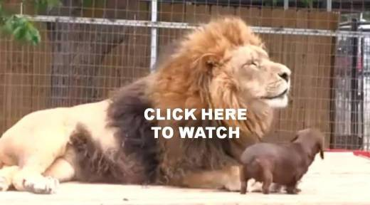 HOW_COOL_IS_THIS_LION_AND_DOG_VIDEO