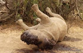 slaughtered_dehorned_rhino