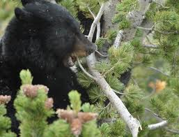 Bear_eating_whitbark_pine-seeds