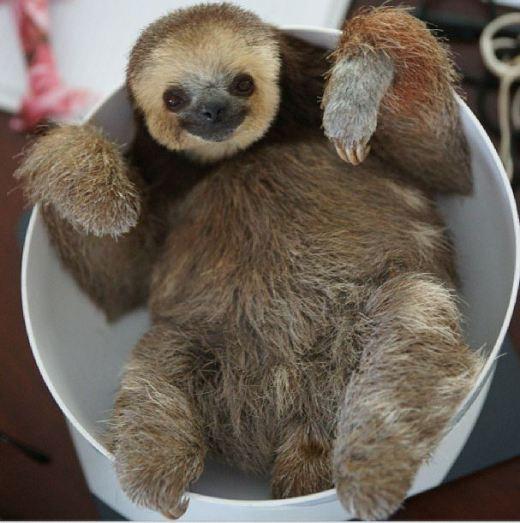 Cute_baby_Sloth