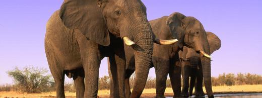 African savanna elephant (Loxodonta africana africana); Chobe National Park, Botswana