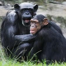 chimp_