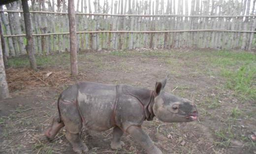 Orphan_rhino_calf