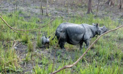 Rhino-17_and_calf_Jamir-Ali-WWF-India_(1)