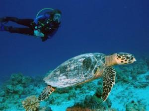 thumb_01-sea-turtle-dive