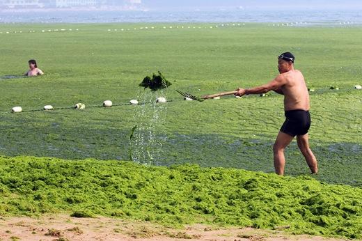 A beachgoer tries to clear a part of an algae