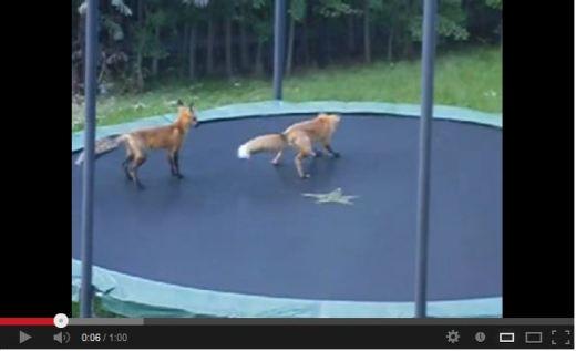 FOXES_HAVING_FUN
