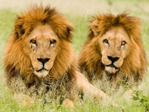 males-lions