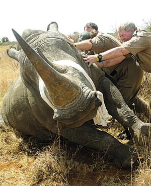 RHINO_DARTING_FOR_PREVENTION_OF_BEEN_POACHED