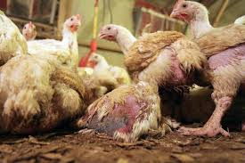chickens_diseased_maltreated_factoryfarmed