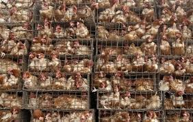 factory_farmed_chickens_horrors_SOTI