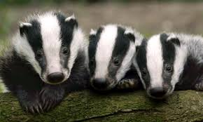 BABY_BADGERS
