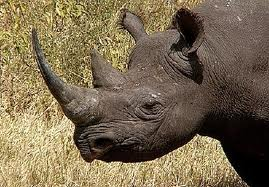 western black rhino_extinct_SOTI