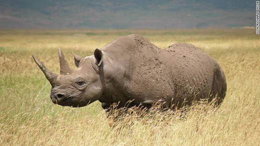 westernblackrhino_extinct_SOTI_2013