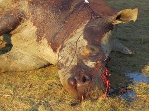 SOTI_Rhino_dead or alive